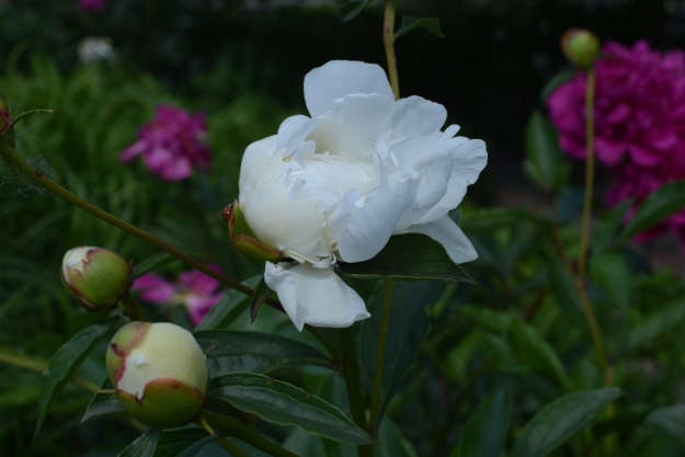 photo of a white peony in the midwest in early summer