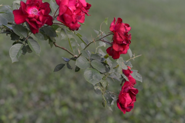 photo of small red roses in bloom